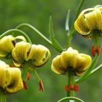 flores ordesa y monte perdido (9)