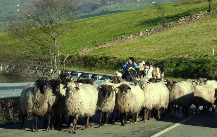ovejas vega pasiega