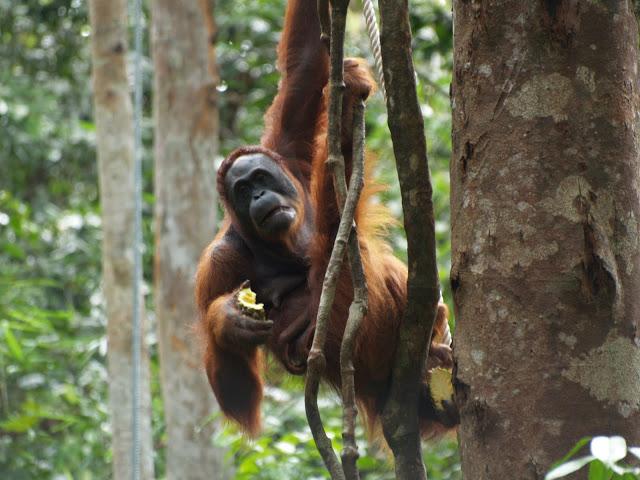 orangutan en borneo ma teresa