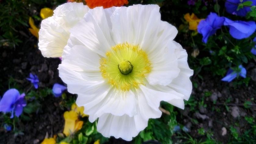 flor blanca niza