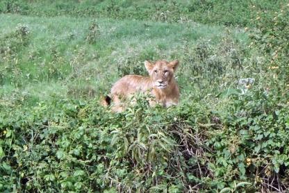 León o leona ...