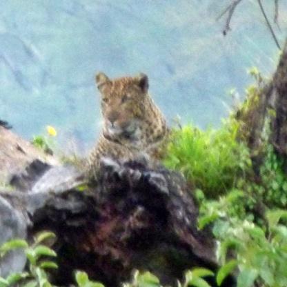 El leopardo camuflado en el árbol lejaaanooo