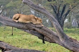 leona descansando nakuru kenia