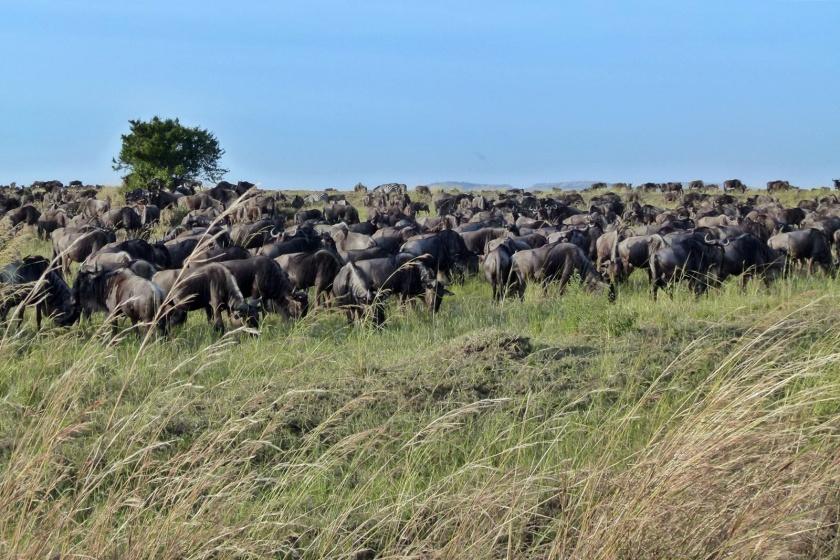 mar de ñus masai mara