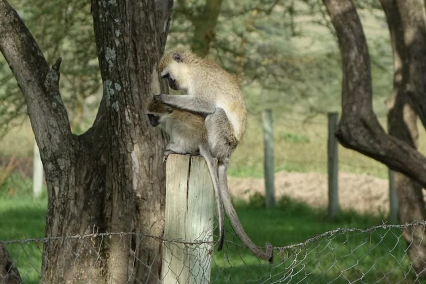 mono despiojando nakuru kenia