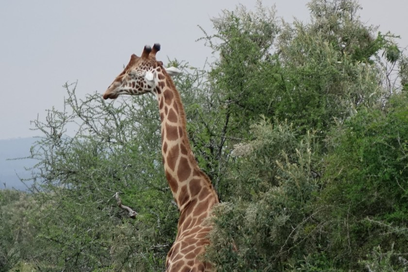 Nakuru Parque (91)