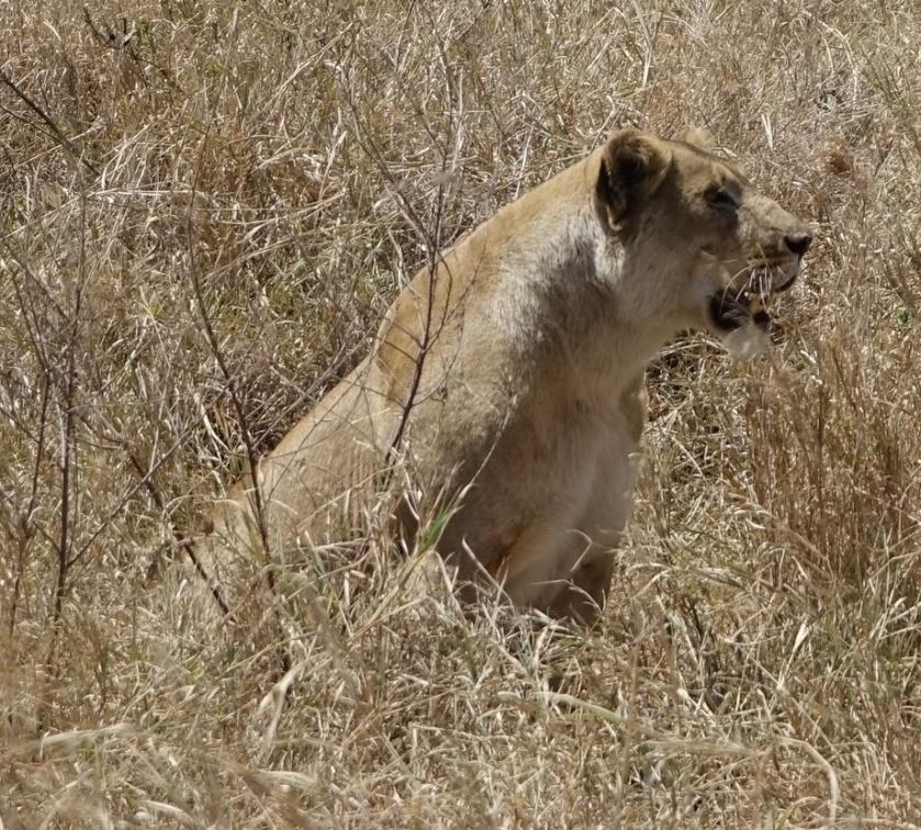 Serengueti (255)-1