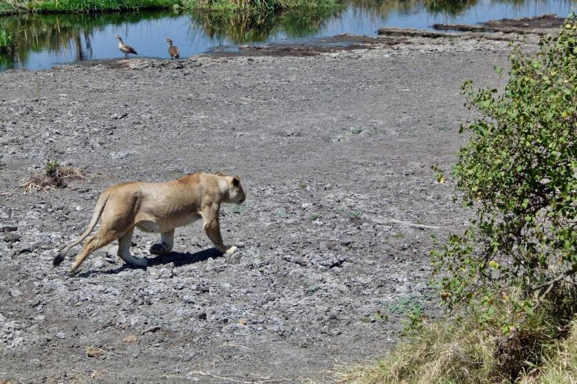 Serengueti (263)