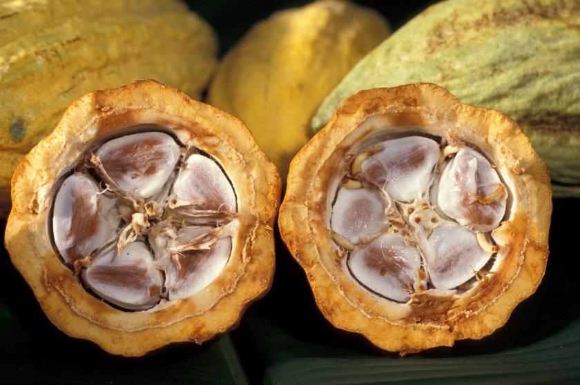 fruto-cacao